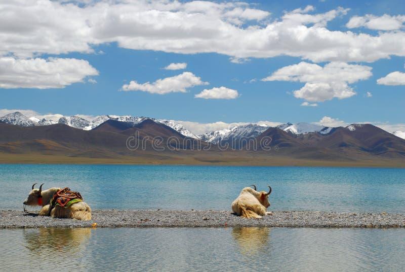 οκνηρά δύο άσπρα yak στοκ εικόνες με δικαίωμα ελεύθερης χρήσης