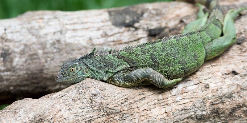 Οκνηρό πράσινο iguana Iguana Iguana που βάζει στον κλάδο στοκ φωτογραφίες