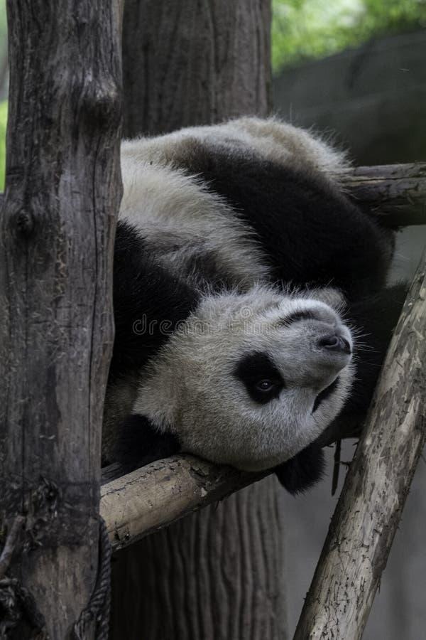 Οκνηρό chengdu Κίνα, υπόλοιπο panda πίσω στο δέντρο στοκ εικόνα