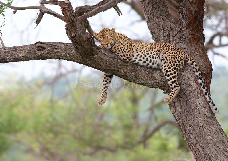οκνηρό leopard στοκ φωτογραφίες με δικαίωμα ελεύθερης χρήσης
