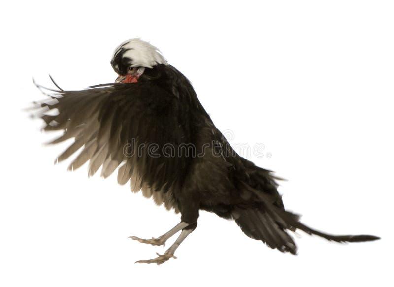 ολλανδικός κόκκορας στοκ φωτογραφία με δικαίωμα ελεύθερης χρήσης