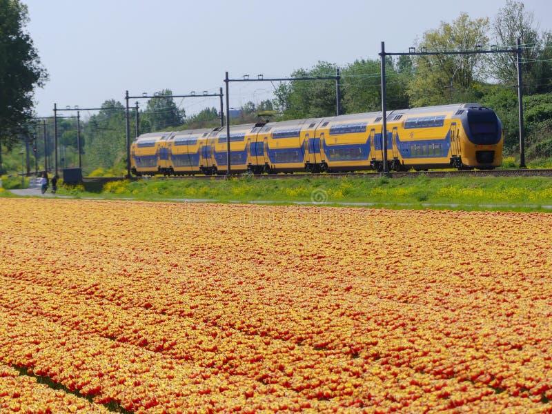 Ολλανδικό ηλεκτρικό intercity τραίνο που περνά τους τομείς λουλουδιών τουλιπών στοκ εικόνα