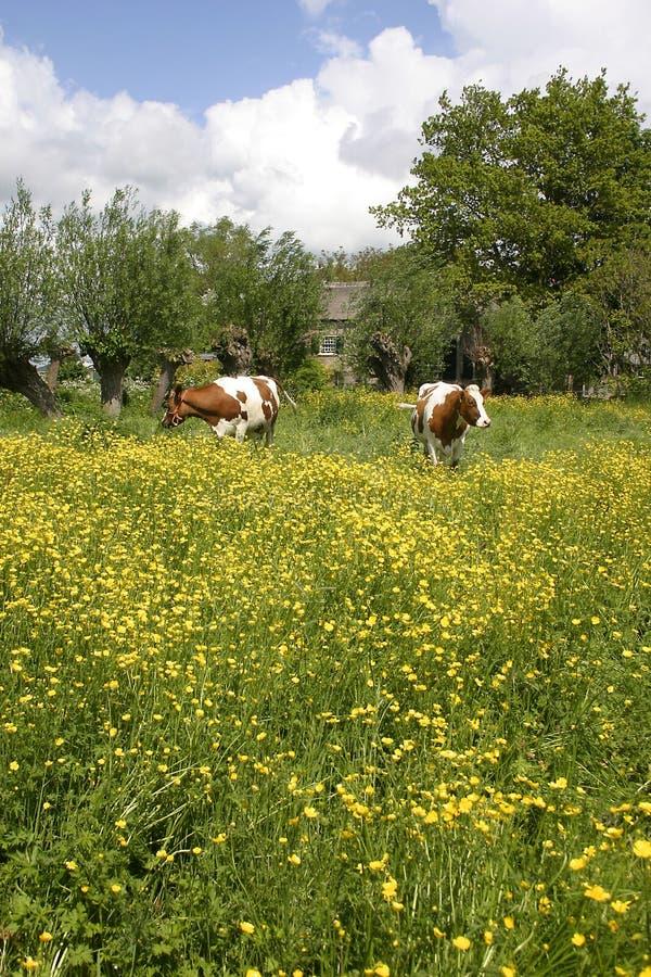 ολλανδικό τοπίο 3 αγελάδων στοκ φωτογραφία