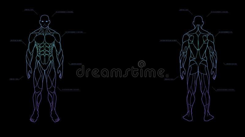 Ολόγραμμα νέου ανατομίας ανθρώπινων σωμάτων μορφής περιγράμματος που προβάλλεται στο μαύρο υπόβαθρο, sci στοιχείο σχεδίου διεπαφώ απεικόνιση αποθεμάτων