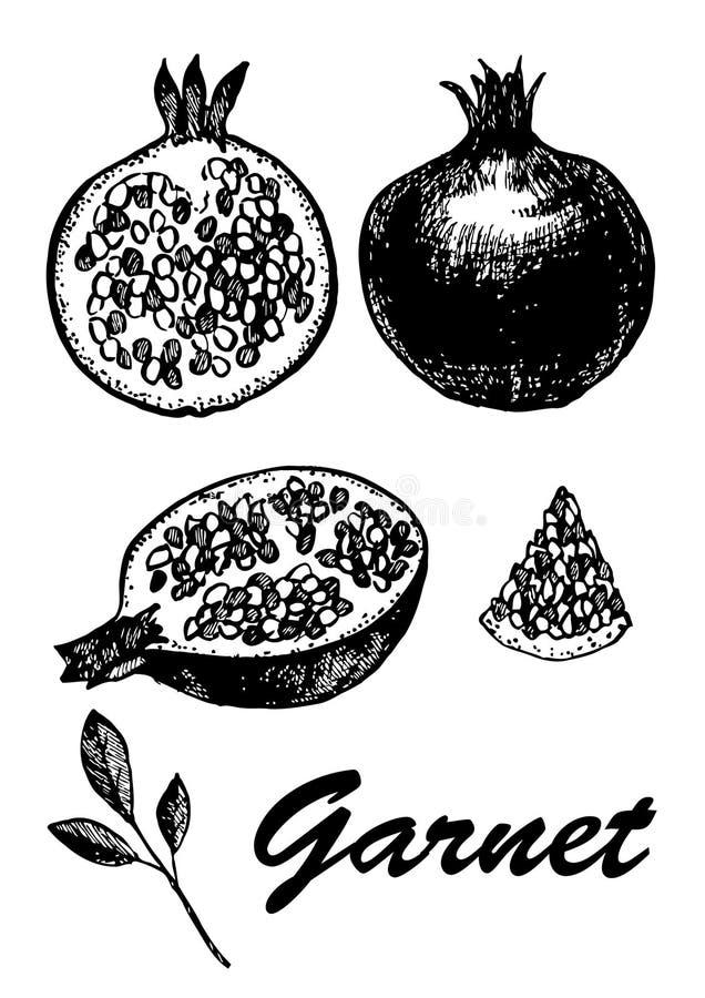 Ολόκληρος και μισός γρανάτης με το σπόρο Χορτοφάγα τρόφιμα Βοτανική απεικόνιση τροφίμων απεικόνιση με τα φρούτα σκίτσων Ο Μαύρος  απεικόνιση αποθεμάτων