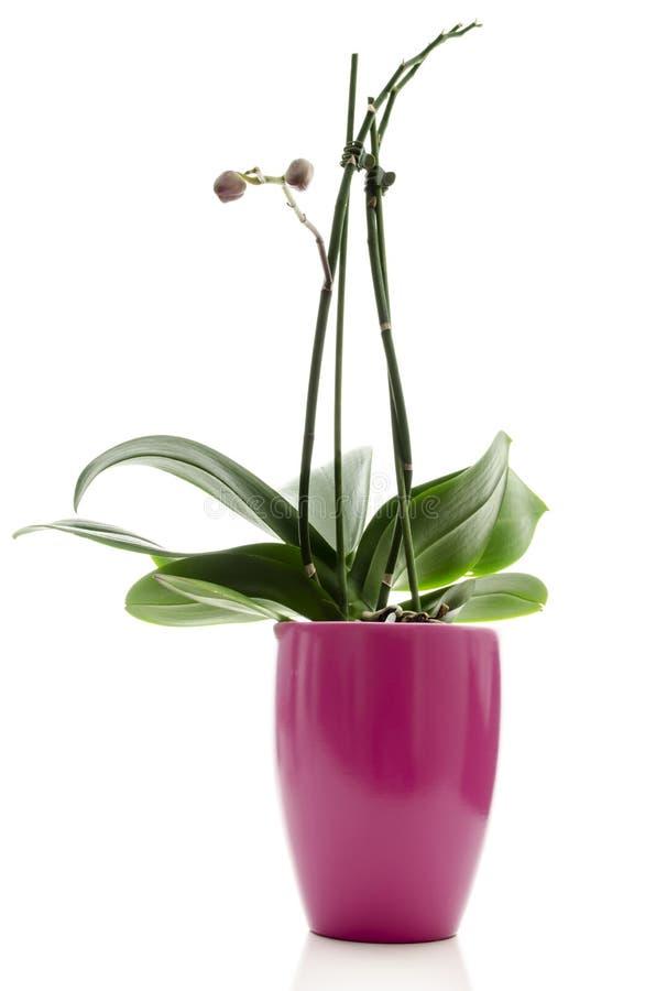 Ολόκληρο Orchid σε ένα ρόδινο δοχείο στοκ φωτογραφία με δικαίωμα ελεύθερης χρήσης