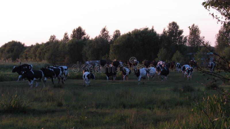 Ομάδα αγελάδων που έρχονται στο σπίτι στοκ φωτογραφία με δικαίωμα ελεύθερης χρήσης