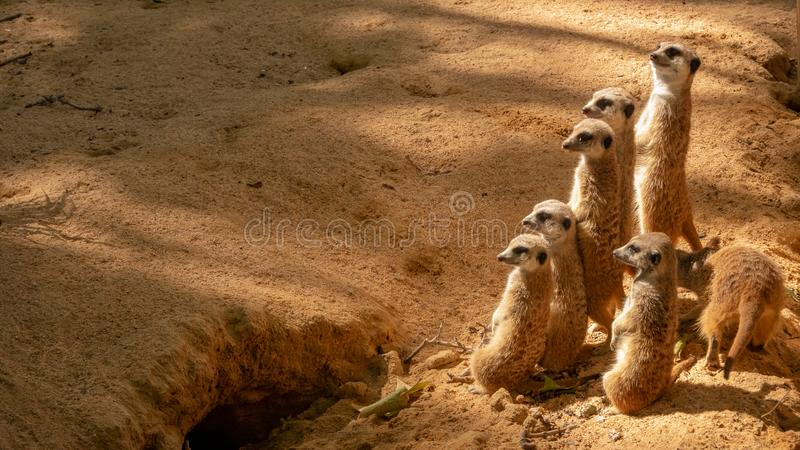 Ομάδα αστείων meerkats στο ζωολογικό κήπο στη Βαρκελώνη στοκ εικόνες