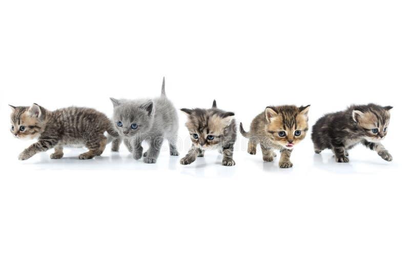 Ομάδα γατακιών που περπατά προς από κοινού. Πλάνο στούντιο. Απομονωμένος στοκ φωτογραφία