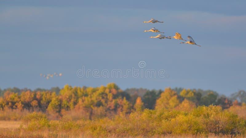 """Ομάδα γερανών sandhill κατά την πτήση στο σούρουπο/το ηλιοβασίλεμα """"χρυσής ώρας """"πρίν προσγειώνεται στη φωλιά για τη νύχτα κατά τ στοκ φωτογραφίες"""