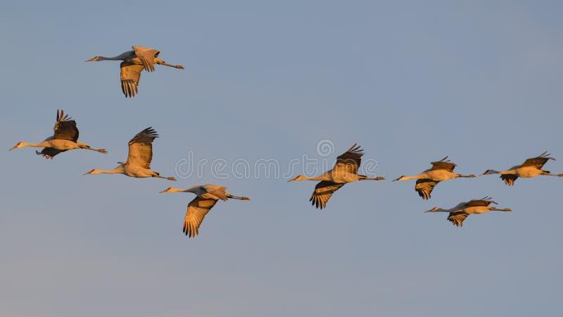 """Ομάδα γερανών sandhill κατά την πτήση στο σούρουπο/το ηλιοβασίλεμα """"χρυσής ώρας """"πρίν προσγειώνεται στη φωλιά για τη νύχτα κατά τ στοκ φωτογραφία με δικαίωμα ελεύθερης χρήσης"""
