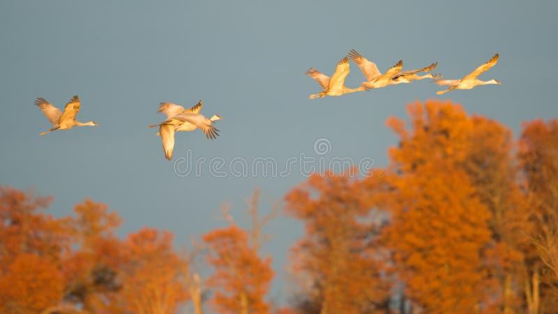 """Ομάδα γερανών sandhill κατά την πτήση στο σούρουπο/το ηλιοβασίλεμα """"χρυσής ώρας """"πρίν προσγειώνεται στη φωλιά για τη νύχτα κατά τ στοκ φωτογραφίες με δικαίωμα ελεύθερης χρήσης"""