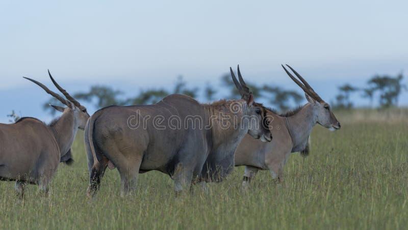 Ομάδα κοινού ταυροτράγους Taurotragus oryx, που στέκεται στην πράσινη χλόη στοκ εικόνες