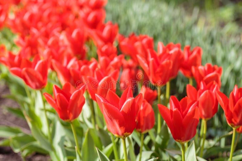 Ομάδα κόκκινων τουλιπών στο πάρκο στοκ εικόνες με δικαίωμα ελεύθερης χρήσης