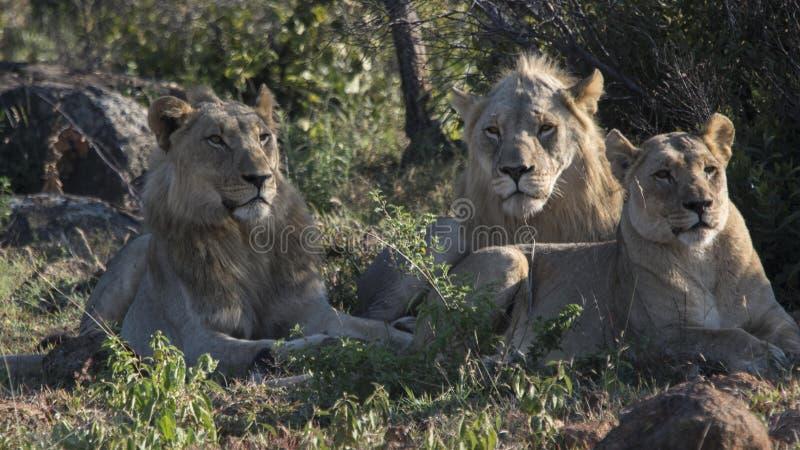 Ομάδα λιονταριών στο εθνικό πάρκο Pilanesberg στοκ φωτογραφία με δικαίωμα ελεύθερης χρήσης