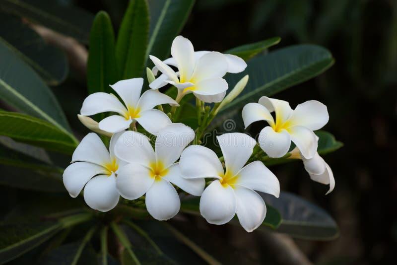 Ομάδα λουλουδιού Plumeria στενό στον επάνω δέντρων στοκ εικόνες