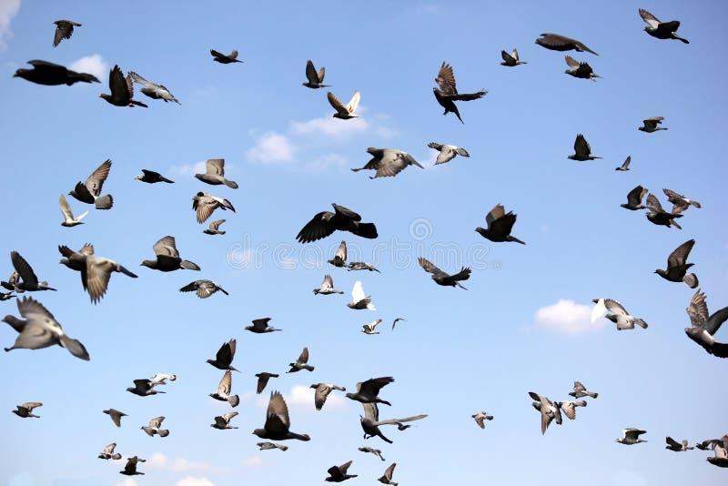 Ομάδα πετώντας περιστεριού στοκ εικόνα