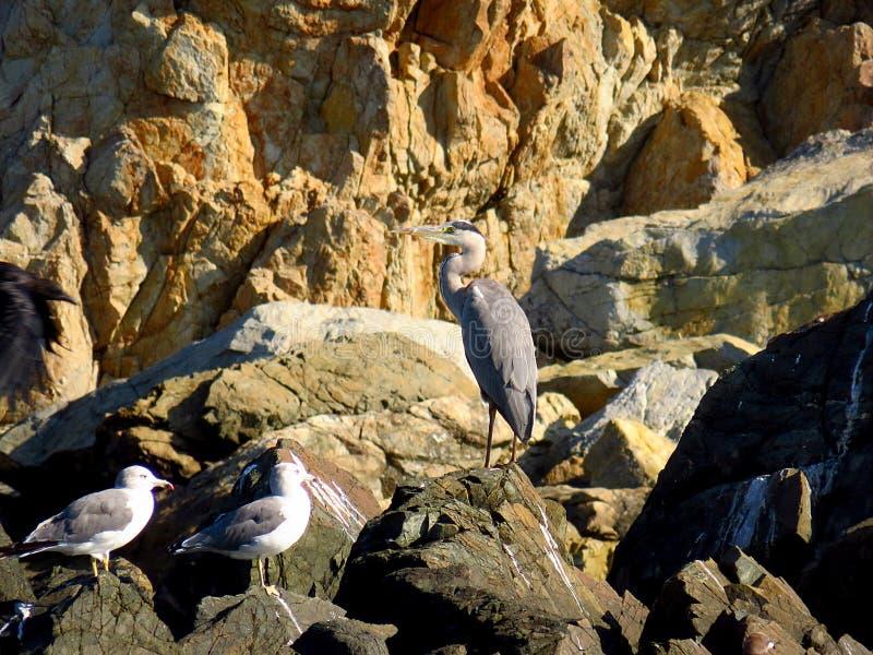 Ομάδα πουλιών: ερωδιός και γλάροι στους βράχους της παραλίας θάλασσας στοκ εικόνες