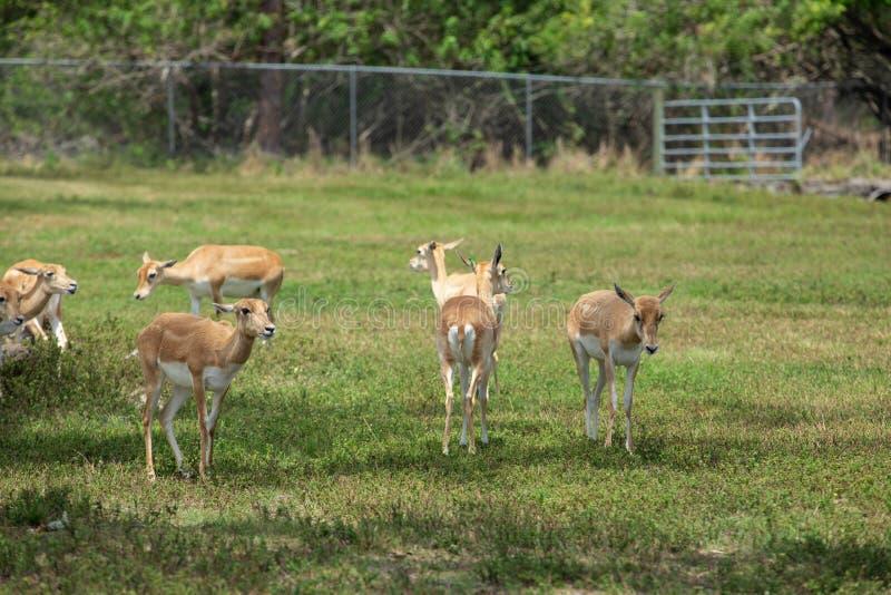 Ομάδα gazelles στο πάρκο στοκ εικόνες με δικαίωμα ελεύθερης χρήσης