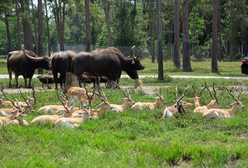 Ομάδα gazelles στο πάρκο στοκ φωτογραφίες