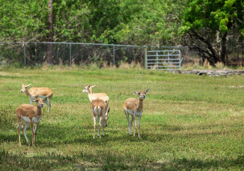 Ομάδα gazelles στο πάρκο στοκ εικόνα
