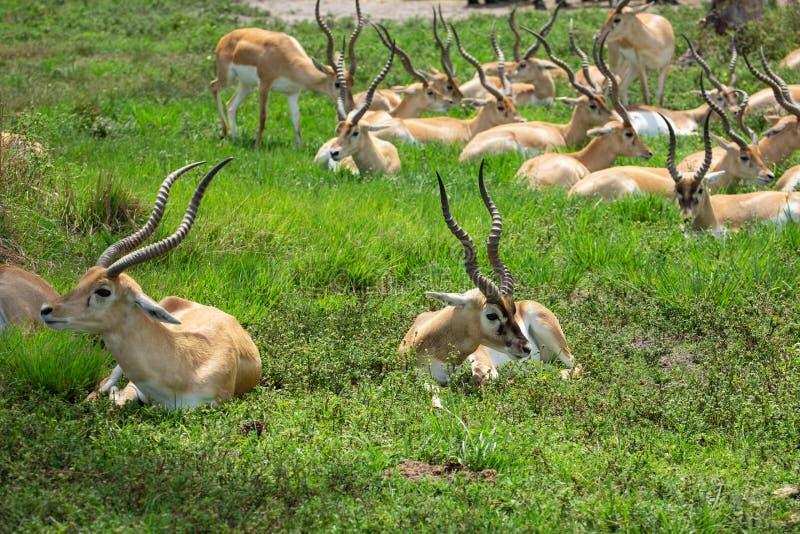 Ομάδα gazelles στο πάρκο στοκ φωτογραφία με δικαίωμα ελεύθερης χρήσης