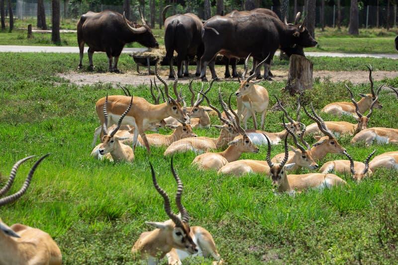 Ομάδα gazelles στο πάρκο στοκ εικόνες