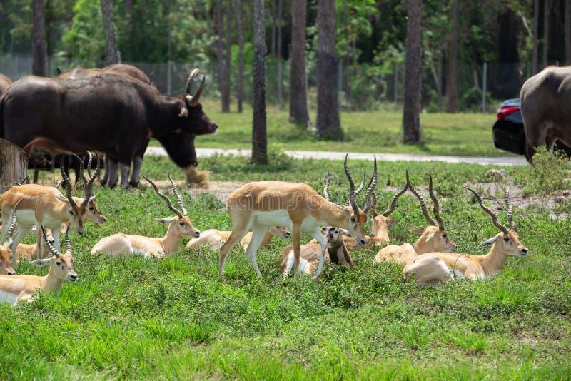 Ομάδα gazelles στο πάρκο στοκ φωτογραφίες με δικαίωμα ελεύθερης χρήσης