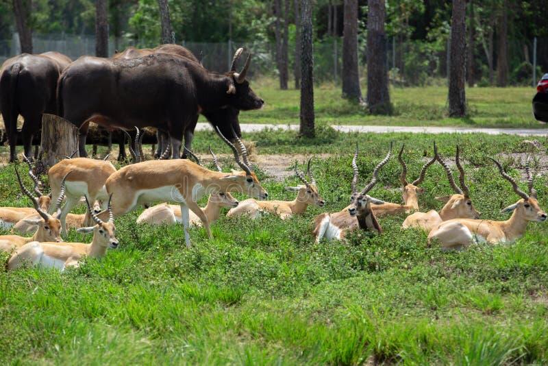 Ομάδα gazelles στο πάρκο στοκ εικόνα με δικαίωμα ελεύθερης χρήσης