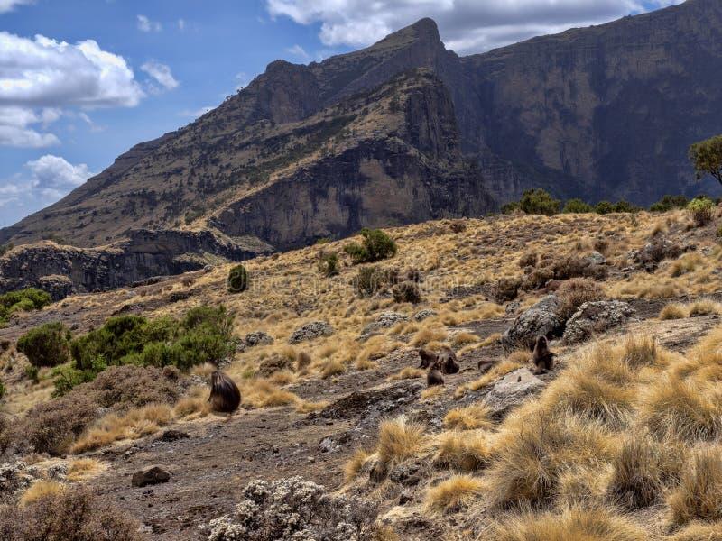 Ομάδα Gelada, gelada Theropithecus, τροφές στο εθνικό πάρκο βουνών Simien στην Αιθιοπία στοκ φωτογραφίες