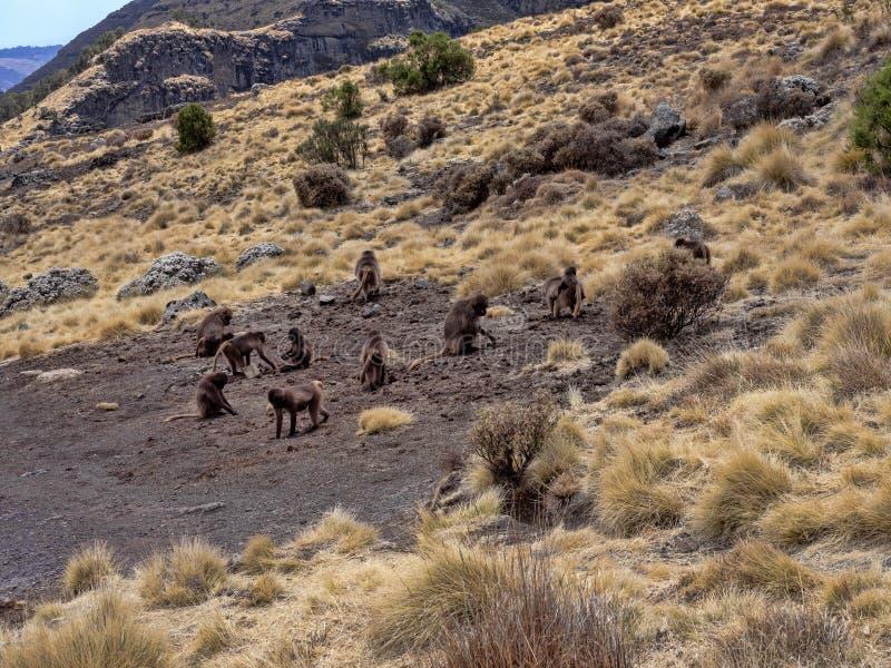 Ομάδα Gelada, gelada Theropithecus, τροφές στο εθνικό πάρκο βουνών Simien στην Αιθιοπία στοκ φωτογραφία με δικαίωμα ελεύθερης χρήσης