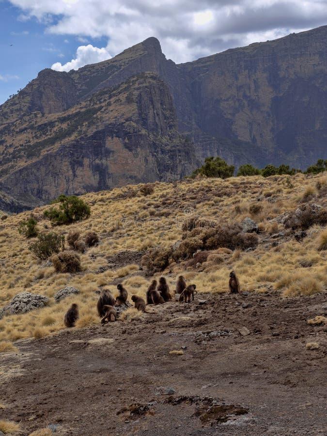 Ομάδα Gelada, gelada Theropithecus, τροφές στο εθνικό πάρκο βουνών Simien στην Αιθιοπία στοκ εικόνες