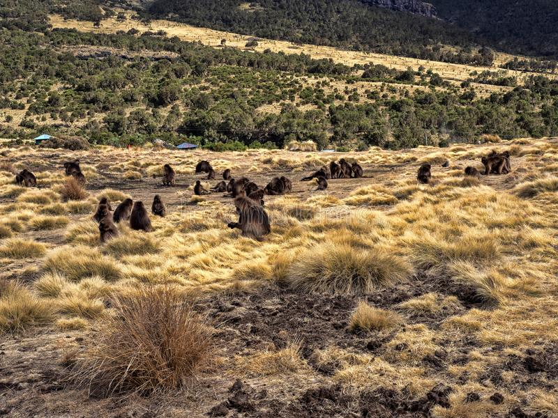 Ομάδα Gelada, gelada Theropithecus, τροφές στο εθνικό πάρκο βουνών Simien στην Αιθιοπία στοκ εικόνες με δικαίωμα ελεύθερης χρήσης