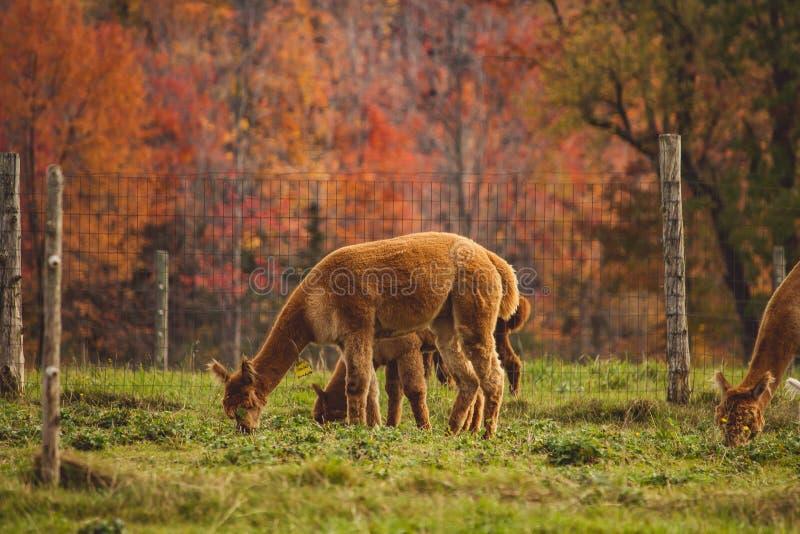 Ομάδα llamas που βόσκουν τη χλόη πίσω από έναν φράκτη σε έναν τομέα στοκ φωτογραφίες