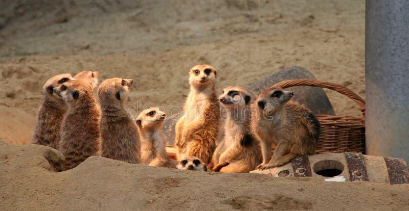 ομάδα meerkats στοκ εικόνες