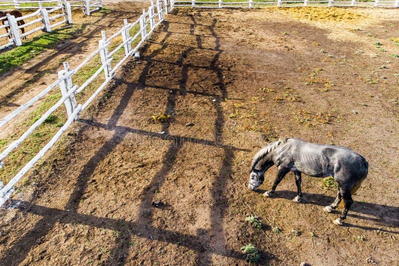 Ομάδα thoroughbred αλόγων που περπατούν και που βόσκουν στη μάντρα κοντά στο σταύλο Μακριά σκιά απογεύματος βραδιού Όμορφα ζώα στ στοκ εικόνα