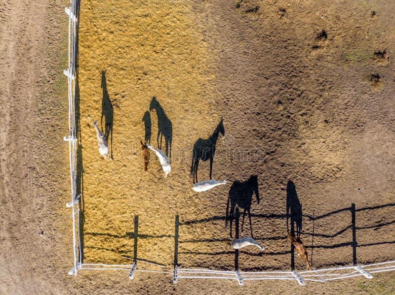 Ομάδα thoroughbred αλόγων που περπατούν και που βόσκουν στη μάντρα κοντά στο σταύλο Μακριά σκιά απογεύματος βραδιού Όμορφα ζώα στ στοκ φωτογραφία