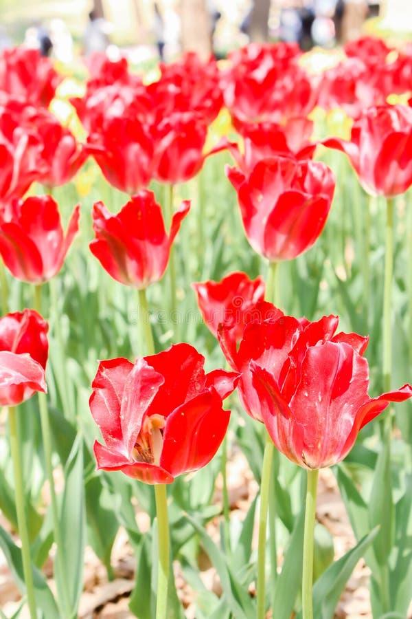 Ομάδες άποψης μεγάλων κόκκινων τουλιπών στο πάρκο παραλιών hitachi στοκ φωτογραφία