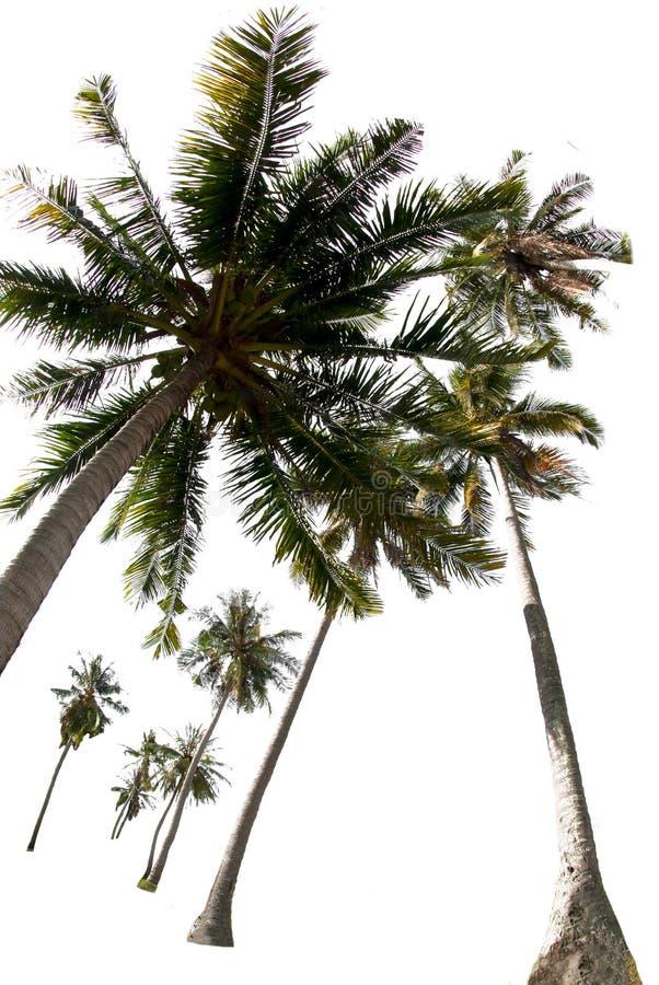 Ομάδες δέντρων καρύδας σε λευκό φόντο με τη διαδρομή αποκοπής στοκ φωτογραφία με δικαίωμα ελεύθερης χρήσης