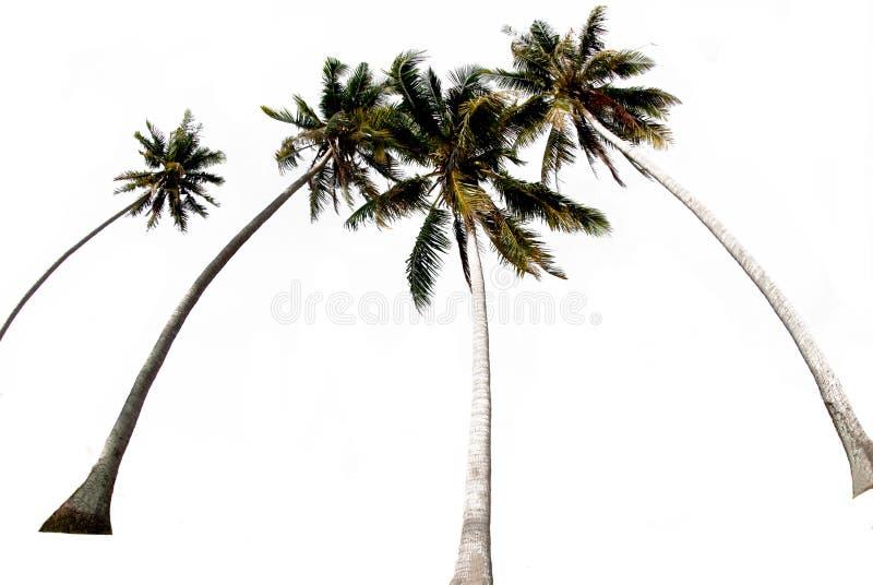 Ομάδες δέντρων καρύδας σε λευκό φόντο με τη διαδρομή αποκοπής στοκ φωτογραφίες