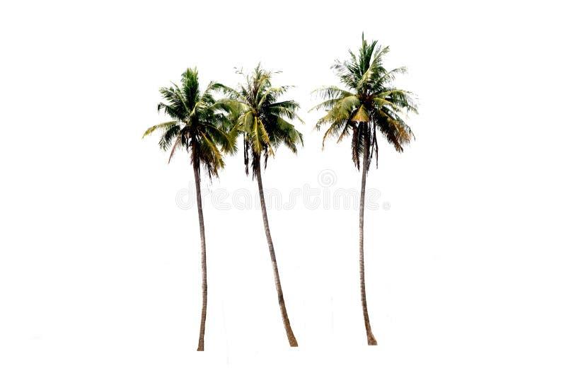 Ομάδες δέντρων καρύδας σε λευκό φόντο με τη διαδρομή αποκοπής στοκ εικόνες