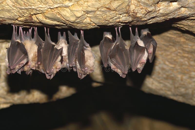 Ομάδες ροπάλων ύπνου στη σπηλιά - μικρότερα ποντίκι-έχοντα νώτα hipposideros blythii και Rhinolophus Myotis ροπάλων - μικρότερο π στοκ φωτογραφία με δικαίωμα ελεύθερης χρήσης