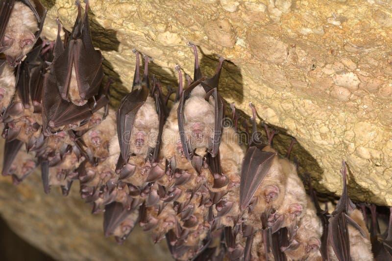 Ομάδες ροπάλων ύπνου στη σπηλιά - μικρότερα ποντίκι-έχοντα νώτα hipposideros blythii και Rhinolophus Myotis ροπάλων - μικρότερο π στοκ φωτογραφίες με δικαίωμα ελεύθερης χρήσης