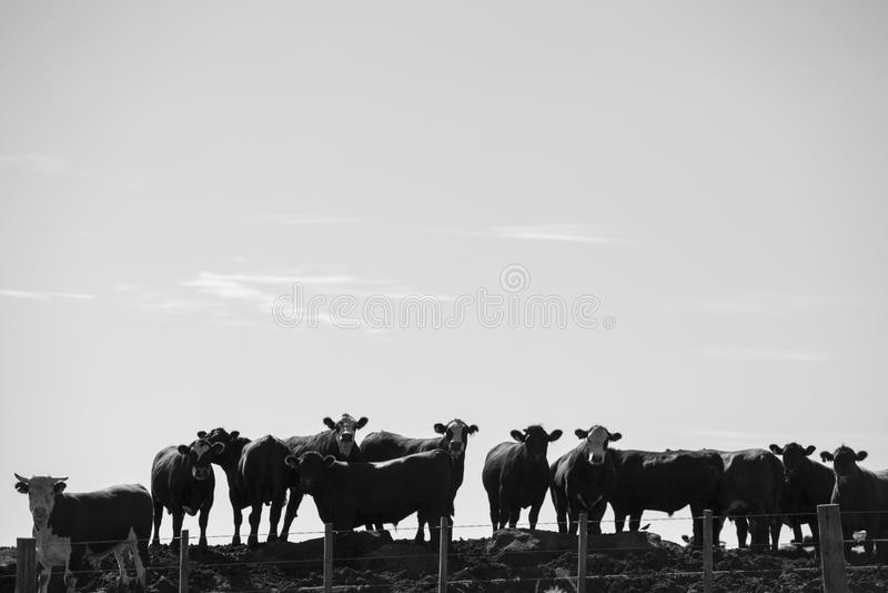 Ομάδα αγελάδων στην εντατική γεωργική γη ζωικού κεφαλαίου, Ουρουγουάη στοκ φωτογραφία με δικαίωμα ελεύθερης χρήσης