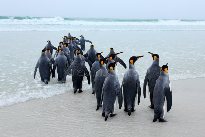 Ομάδα βασιλιά penguins, patagonicus Aptenodytes, που πηγαίνει από την άσπρη άμμο στη θάλασσα, αρτικά ζώα στο βιότοπο φύσης, σκούρ στοκ εικόνα με δικαίωμα ελεύθερης χρήσης