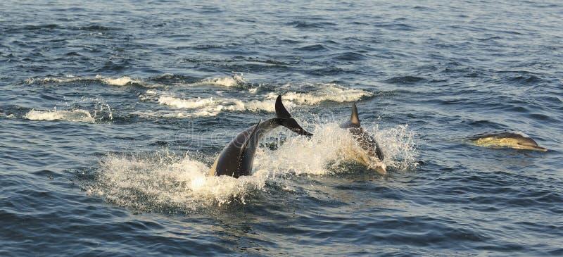 Ομάδα δελφινιών, που κολυμπά στον ωκεανό και που κυνηγά για τα ψάρια στοκ εικόνα με δικαίωμα ελεύθερης χρήσης