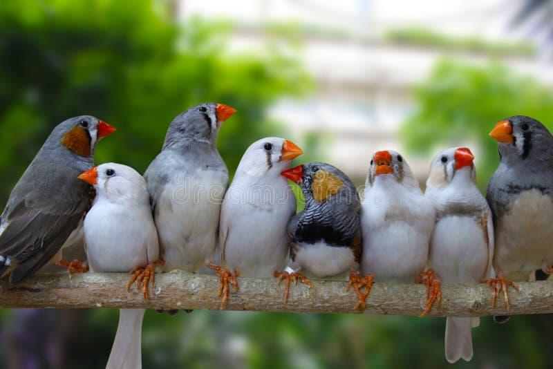 Ομάδα ζεδών finch πουλιών στοκ εικόνες