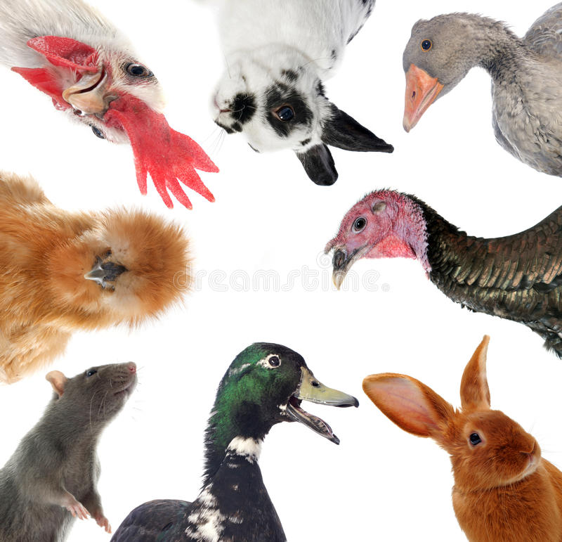 Ομάδα ζώων αγροκτημάτων στοκ φωτογραφία με δικαίωμα ελεύθερης χρήσης