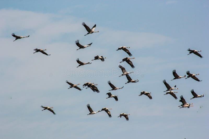 Ομάδα κοινού grus grus πετάγματος μπλε ουρανού γερανών στοκ εικόνα με δικαίωμα ελεύθερης χρήσης