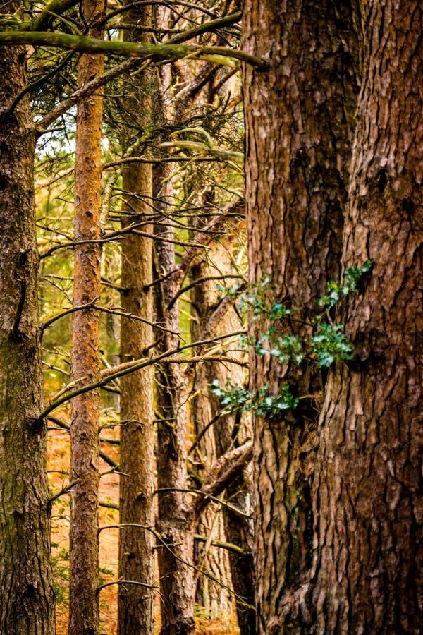 Ομάδα κορμών δέντρων κωνοφόρων στοκ φωτογραφία με δικαίωμα ελεύθερης χρήσης